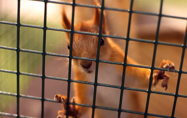 Eichhörnchen hinter Gitter