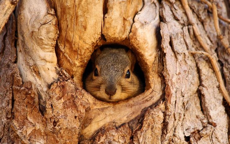 Eichhörnchen in der Baumhöhle