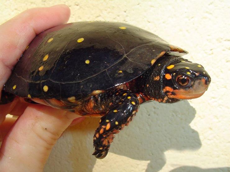 Gesägte Flachschildkröte