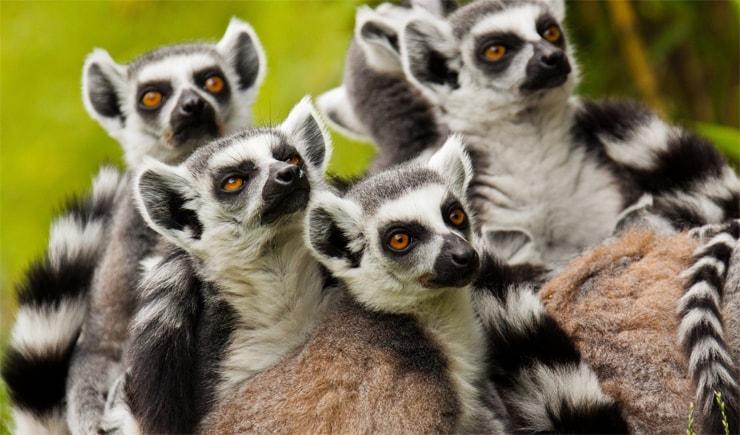 Lemuren