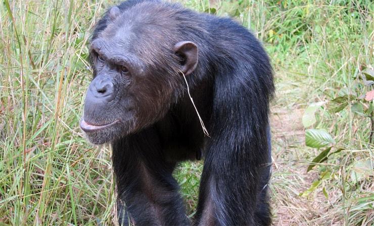 Schimpanse mit einem Strohhalm im Ohr