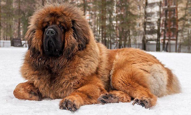 Tibetanische Dogge