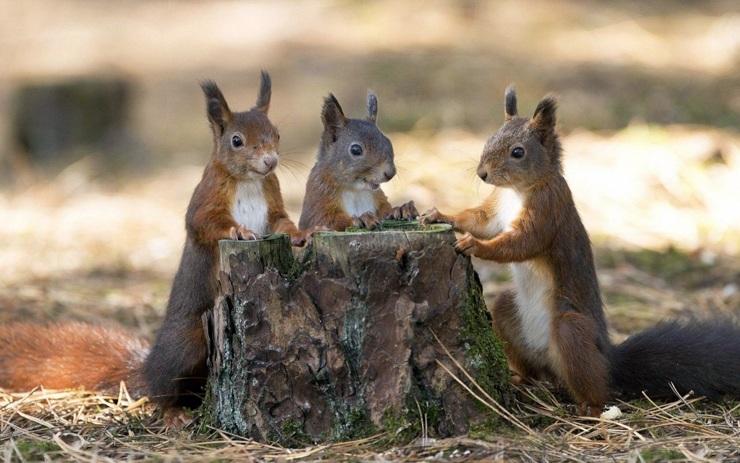 mehrere Eichhörnchen