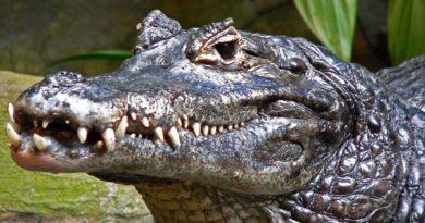 Top 10 wenig bekannten Krokodilarten