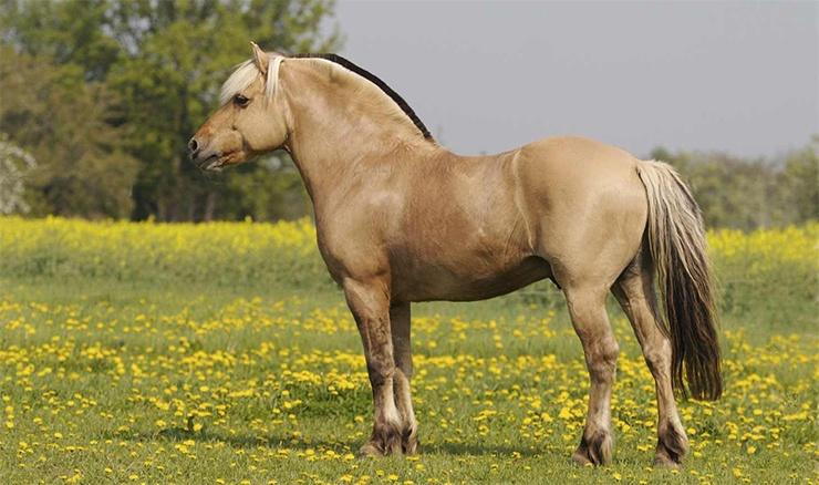 Norwegisches Fjordpferd